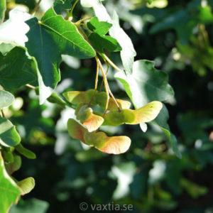 Acer campestre-0