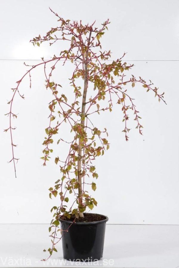 Acer conspicuum 'Red Flamingo'-22