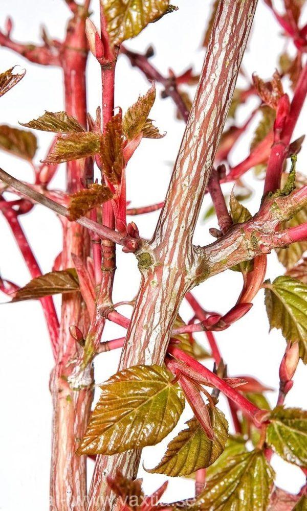 Acer conspicuum 'Red Flamingo'-0