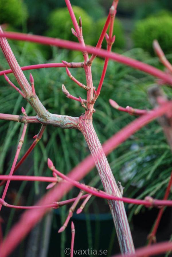 Acer conspicuum 'Red Flamingo'-172