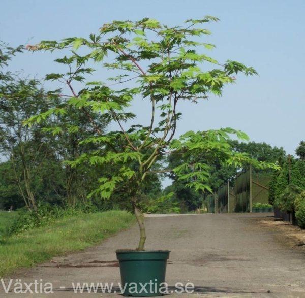 Acer japonicum 'Aconitifolium'-0