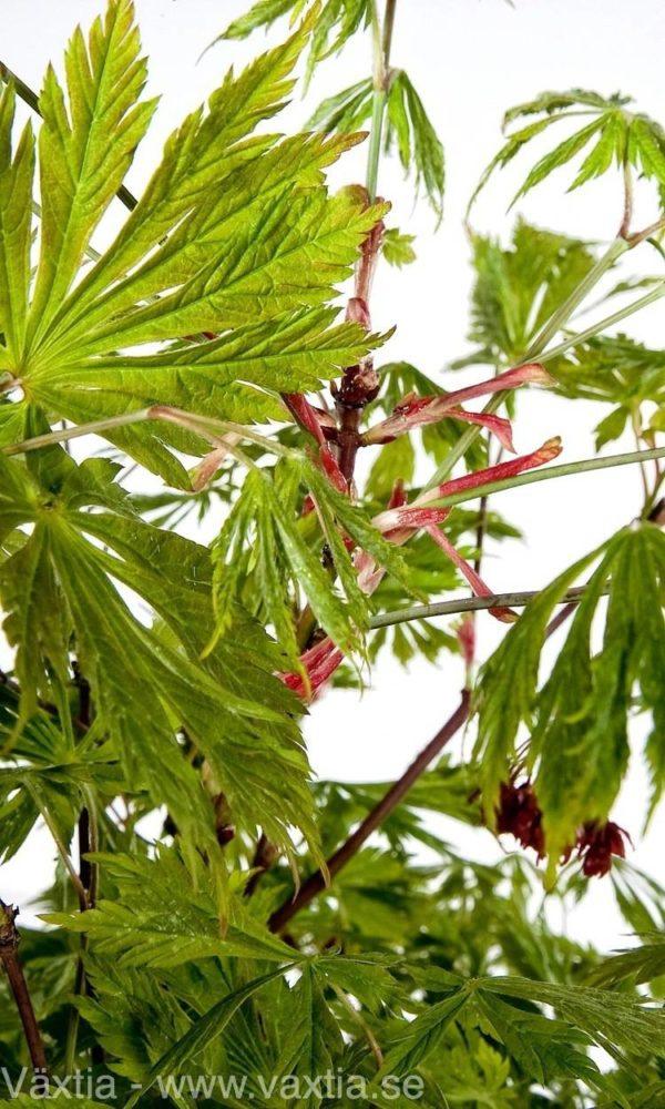 Acer japonicum 'Aconitifolium'-20
