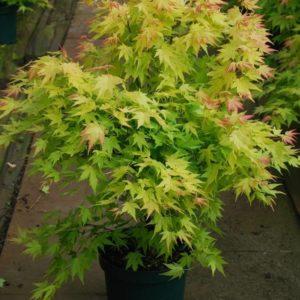 Acer palmatum 'Orange Dream'-0