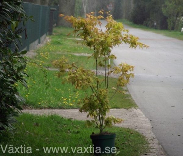 Acer palmatum 'Orange Dream'-15