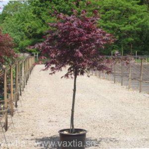 Acer palmatum 'Bloodgood'-0