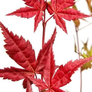 Acer palmatum 'Beni Maiko'-0