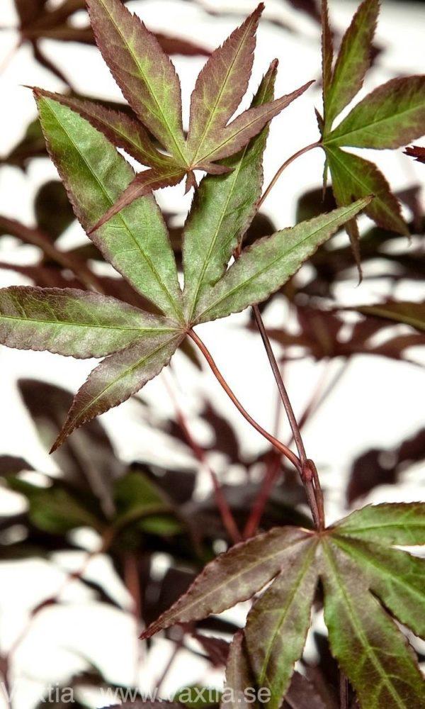Acer palmatum 'Bloodgood'-17