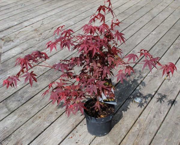 Acer palmatum 'Atropurpureum'-889