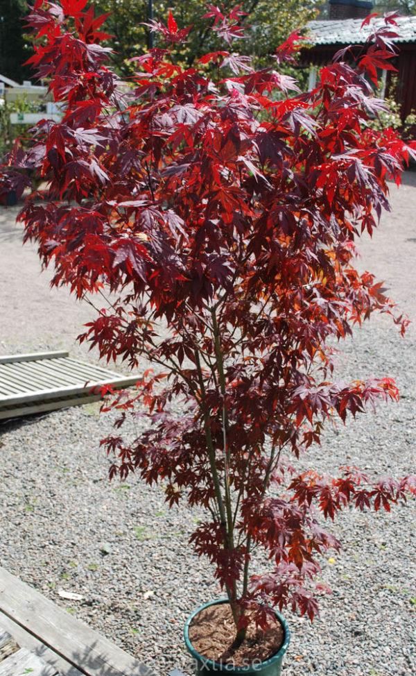 Acer palmatum 'Atropurpureum'-0