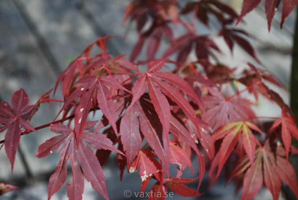 Acer palmatum 'Atropurpureum'-891