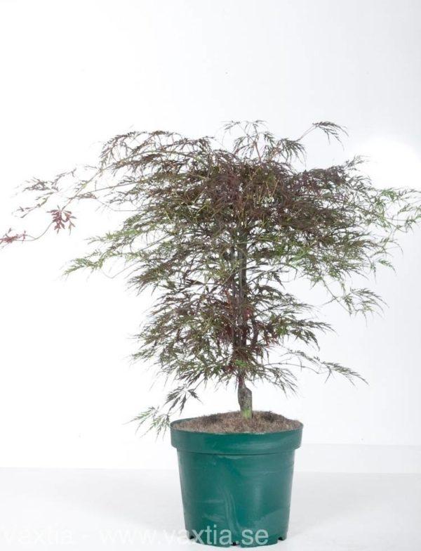 Acer palmatum 'Dissectum Crimson Queen'-25