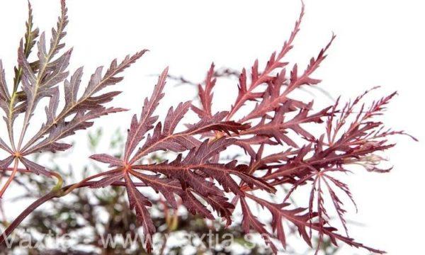 Acer palmatum 'Dissectum Crimson Queen'-26