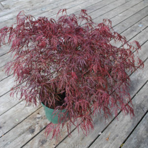 Acer palmatum 'Dissectum Crimson Queen'-0