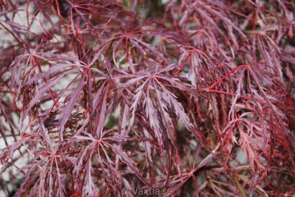 Acer palmatum 'Dissectum Crimson Queen'-883