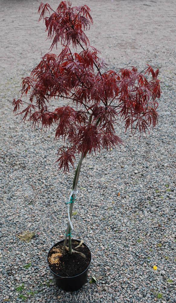 Acer palmatum 'Dissectum Garnet'-899