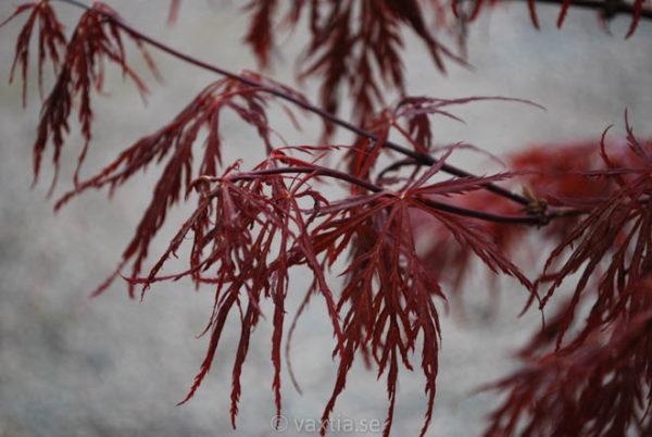 Acer palmatum 'Dissectum Garnet'-900