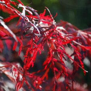 Acer palmatum 'Dissectum Garnet'-0
