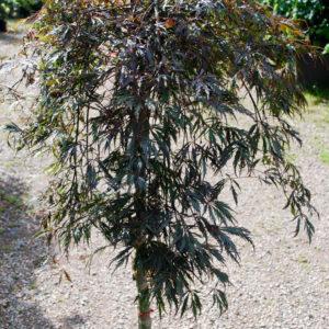 Acer palmatum 'Dissectum Tamukeyama'-0