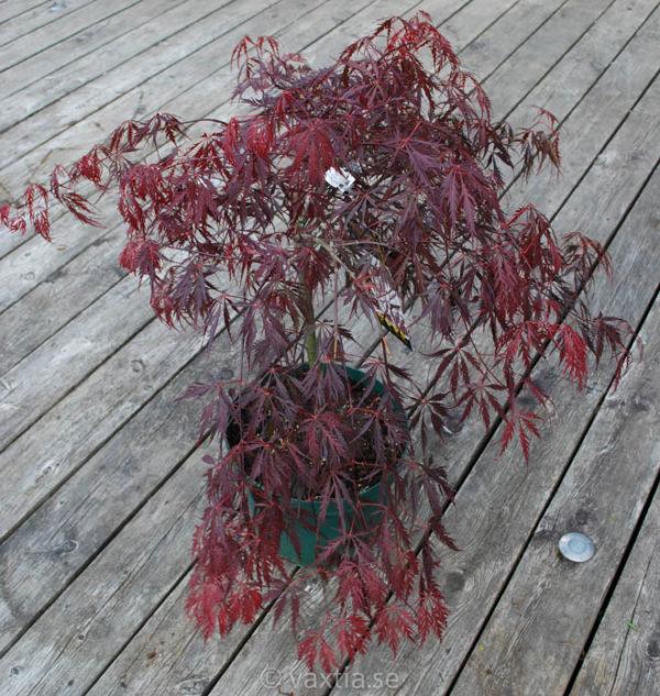Acer palmatum 'Dissectum Tamukeyama'-896