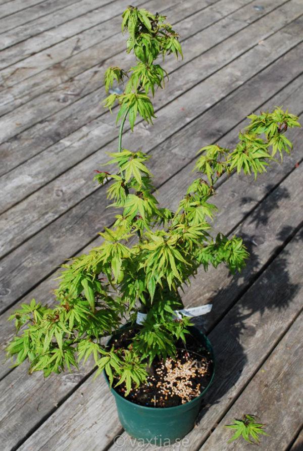 Acer palmatum 'Mikawa yatsubusa'-0