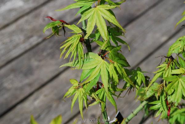 Acer palmatum 'Mikawa yatsubusa'-892
