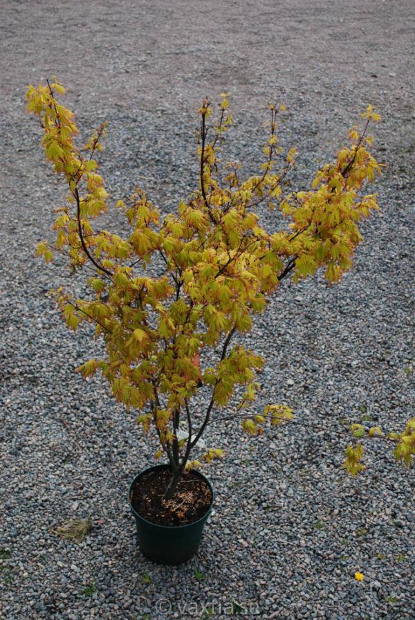 Acer palmatum 'Orange Dream'-894