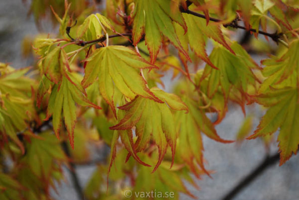 Acer palmatum 'Orange Dream'-895