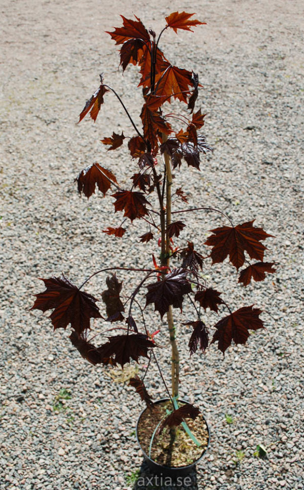 Acer platanoides 'Royal Red'-0