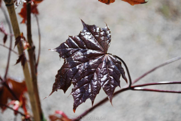 Acer platanoides 'Royal Red'-885