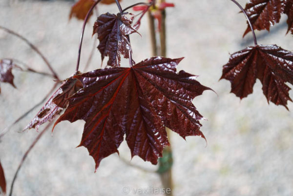 Acer platanoides 'Royal Red'-886