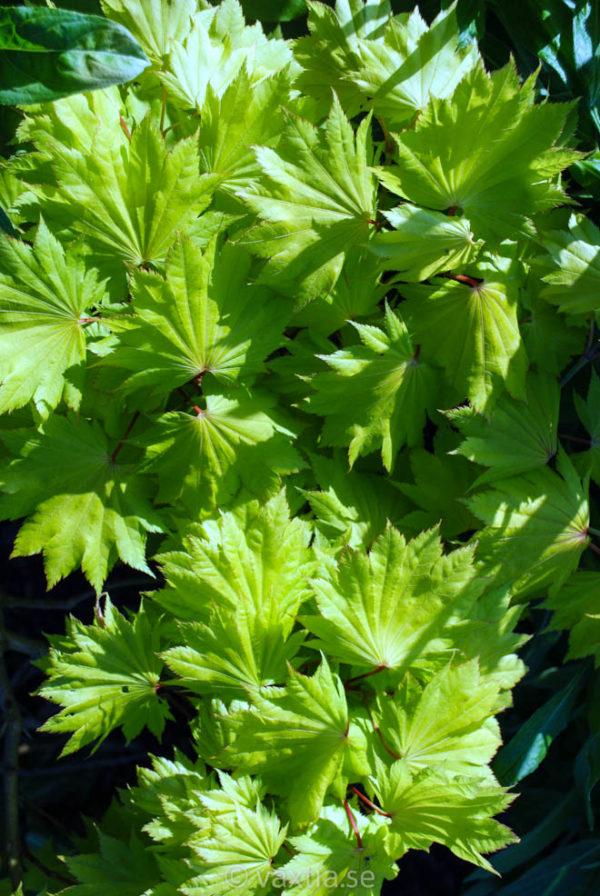Acer shirasawanum 'Aureum'-37