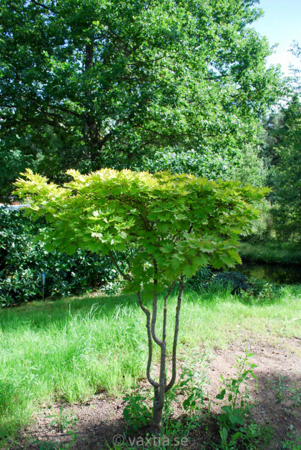 Acer shirasawanum 'Aureum'-0
