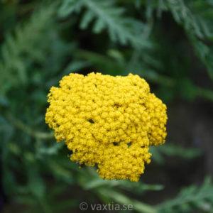 Achillea filipendulina 'Coronation Gold'-0