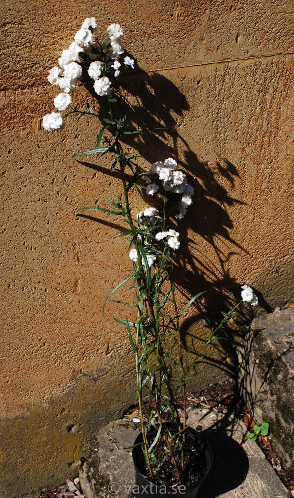Achillea ptarmica 'Boule de Neige'-1608