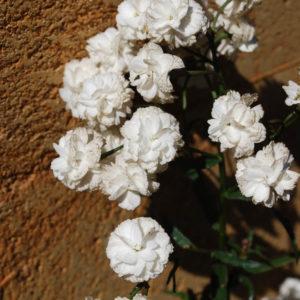 Achillea ptarmica 'Boule de Neige'-0