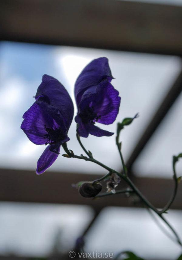 Aconitum cammarum 'Spark's Variety'-456