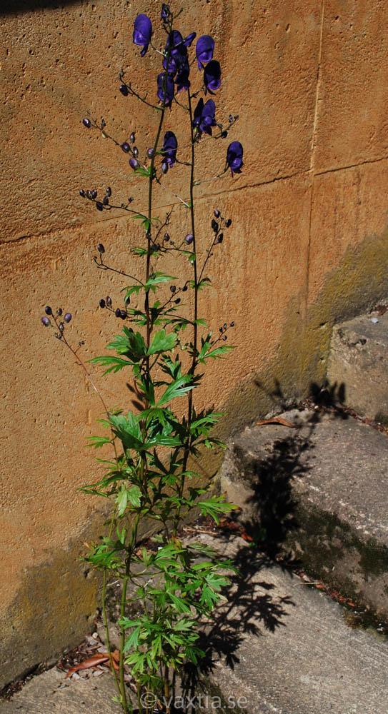 Aconitum cammarum 'Spark's Variety'-1611