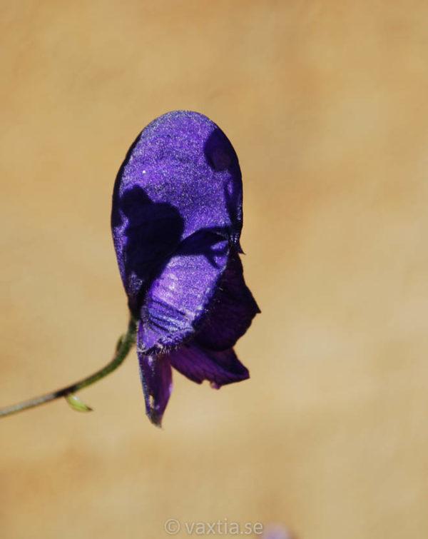Aconitum cammarum 'Spark's Variety'-0