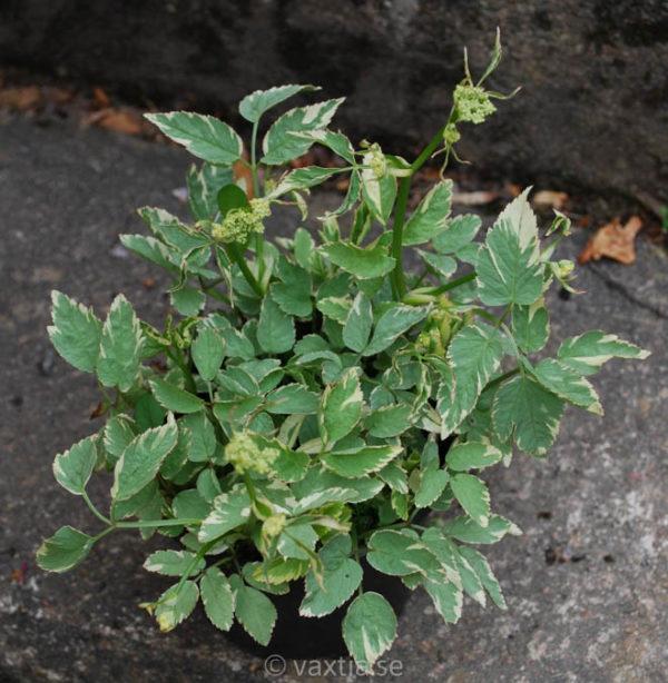 Aegopodium podagraria 'Variegatum'-0