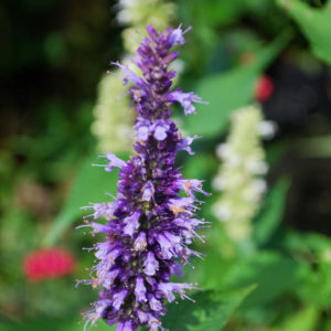 Agastache 'Black Adder'-0