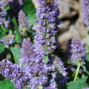 Agastache 'Blue Fortune'-0
