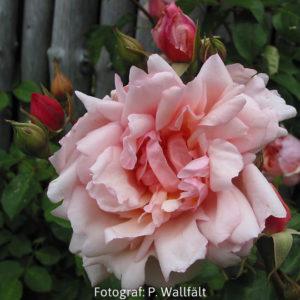 'Albertine' (R. wichurana)-0