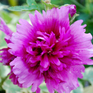 Alcea rosea 'Spring Celebrities Purple' -0