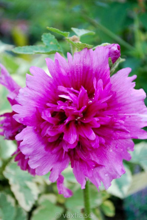 Alcea rosea 'Spring Celebrities Purple' -0