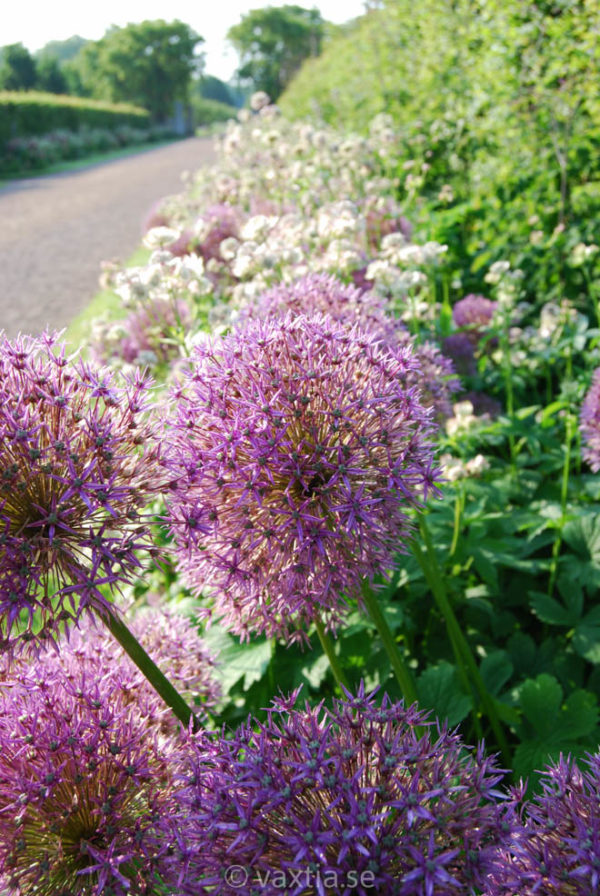 Allium aflatunense 'Purple Sensation'-0
