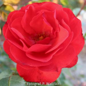 'Allotria' (Floribunda)-0