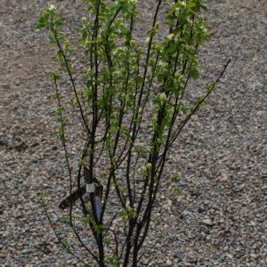 Amelanchier alnifolia 'Obelisk' -0