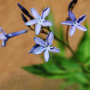 Amsonia tabernaemontana 'Blue Ice'-0