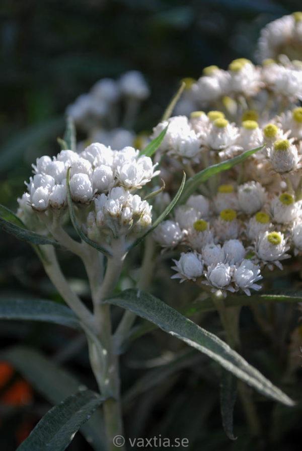 Anaphalis margaritacea-0