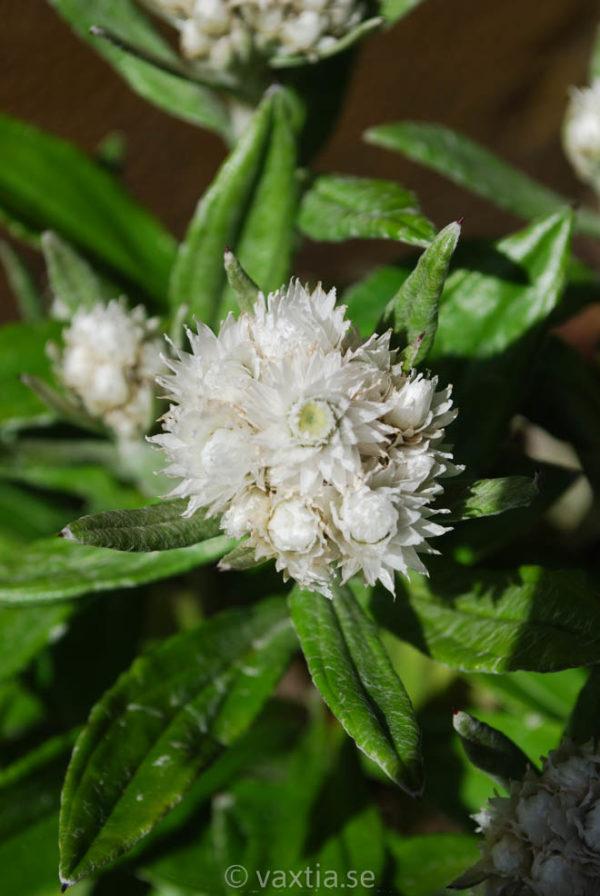 Anaphalis triplinervis-0